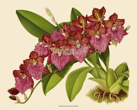 Fine art print of the Orchid Odontoglossum Uro-skinneri by John Nugent Fitch